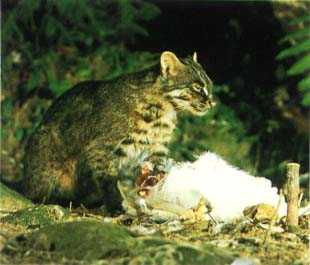 Outsider Japan Iriomotejima Wildcat
